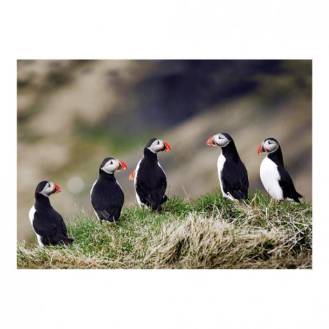 Five puffins postcard