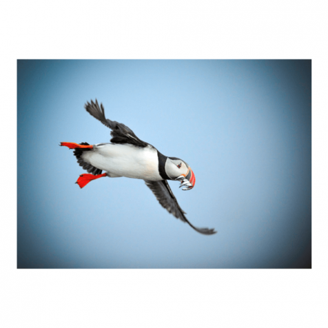 Flying puffin postcard