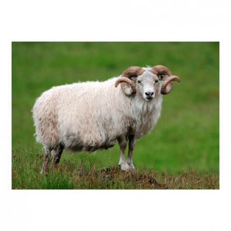 Icelandic ram postcard